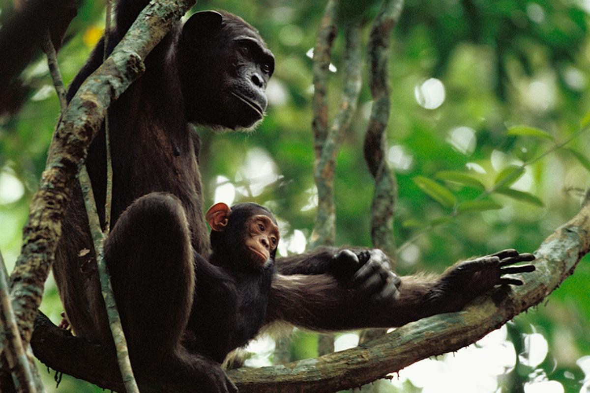 For the first time, researchers have captured video of chimpanzees actively teaching their young how to use tools
