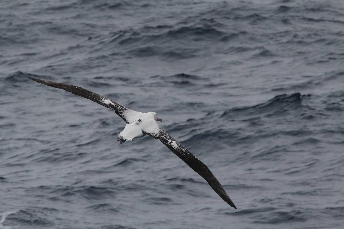 Scientists have used albatross equipped with radar detectors to identify illegal fishing activity