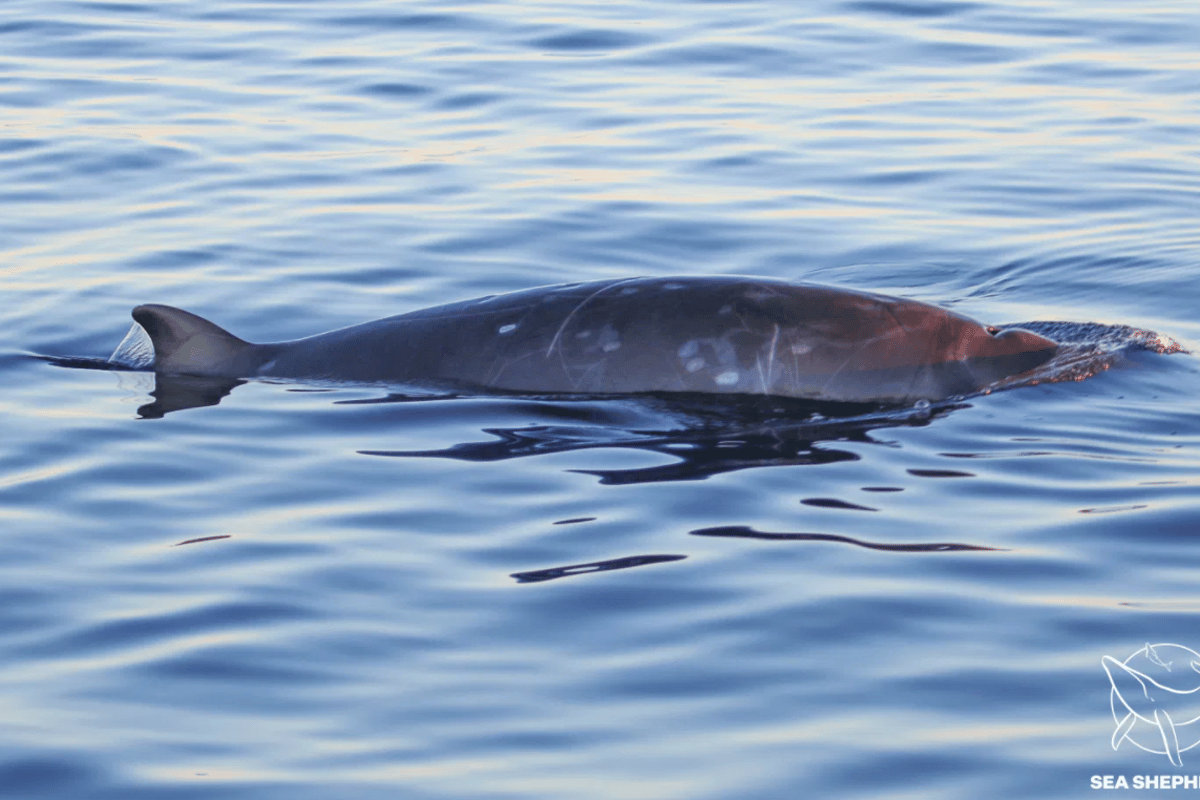 Around 100 miles (160 km) north of the San Benito Islands in Mexico, scientists saw unidentified beaked whales break through the surface of the water