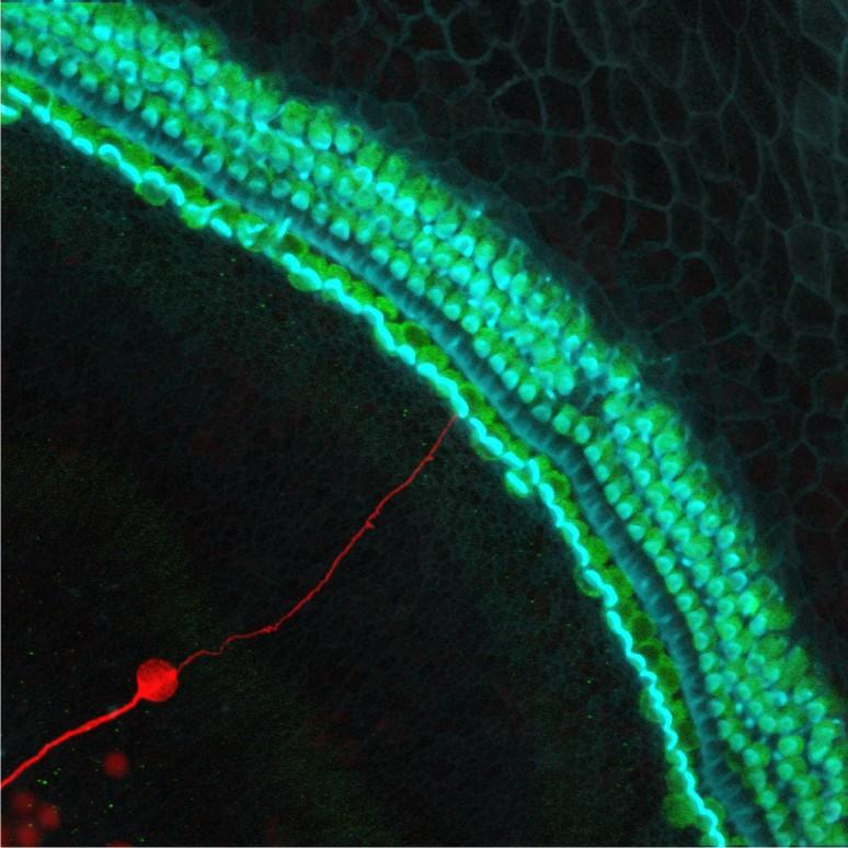 A stem cell-derived neuron grafted onto a mouse cochlea in the inner ear that lacked neurons – the new neuron is marked red, hair cells that convert sounds into neural signals are green and hair bundles are blue