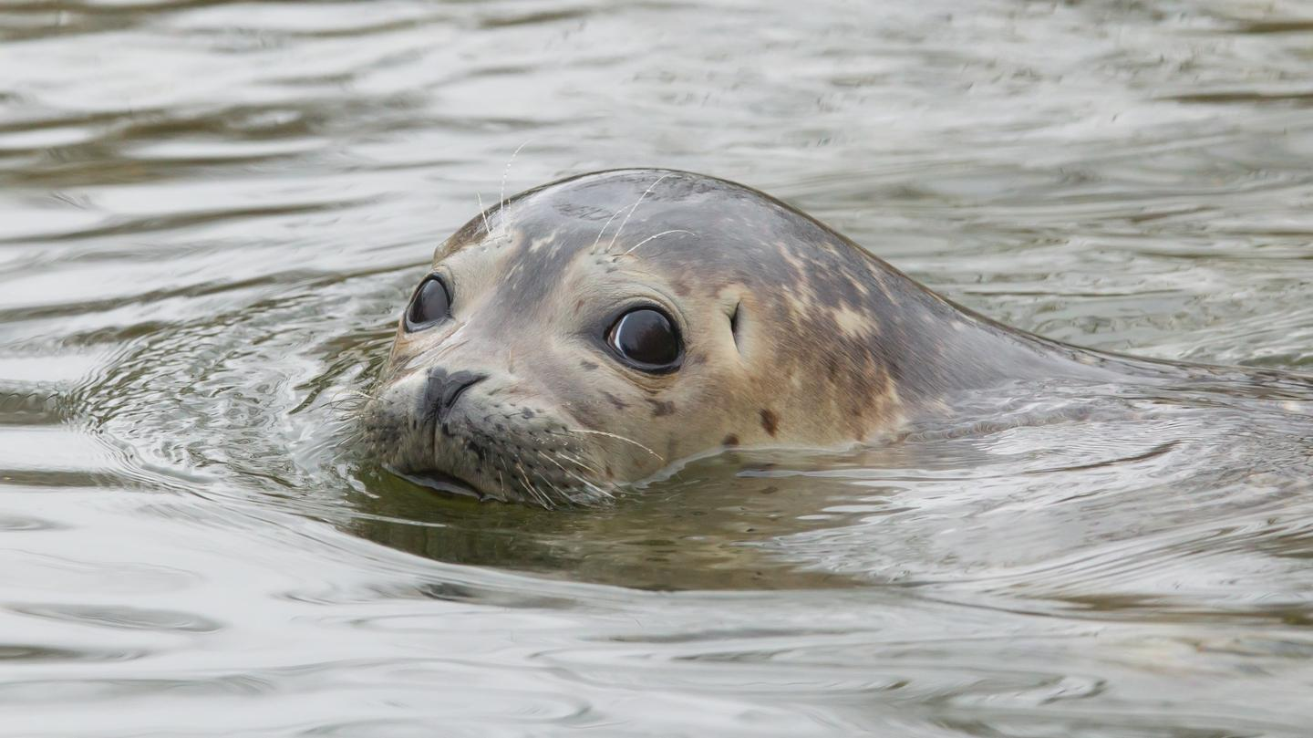 The feces of grey seals has revealed new insights about the way ocean plastics canmove through the food chain