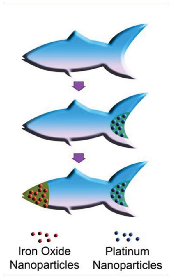 The 3D-printed microfish are loaded up with platinum nanoparticles in the tail and iron oxide nanoparticles in the head, for propulsion and steering, respectively