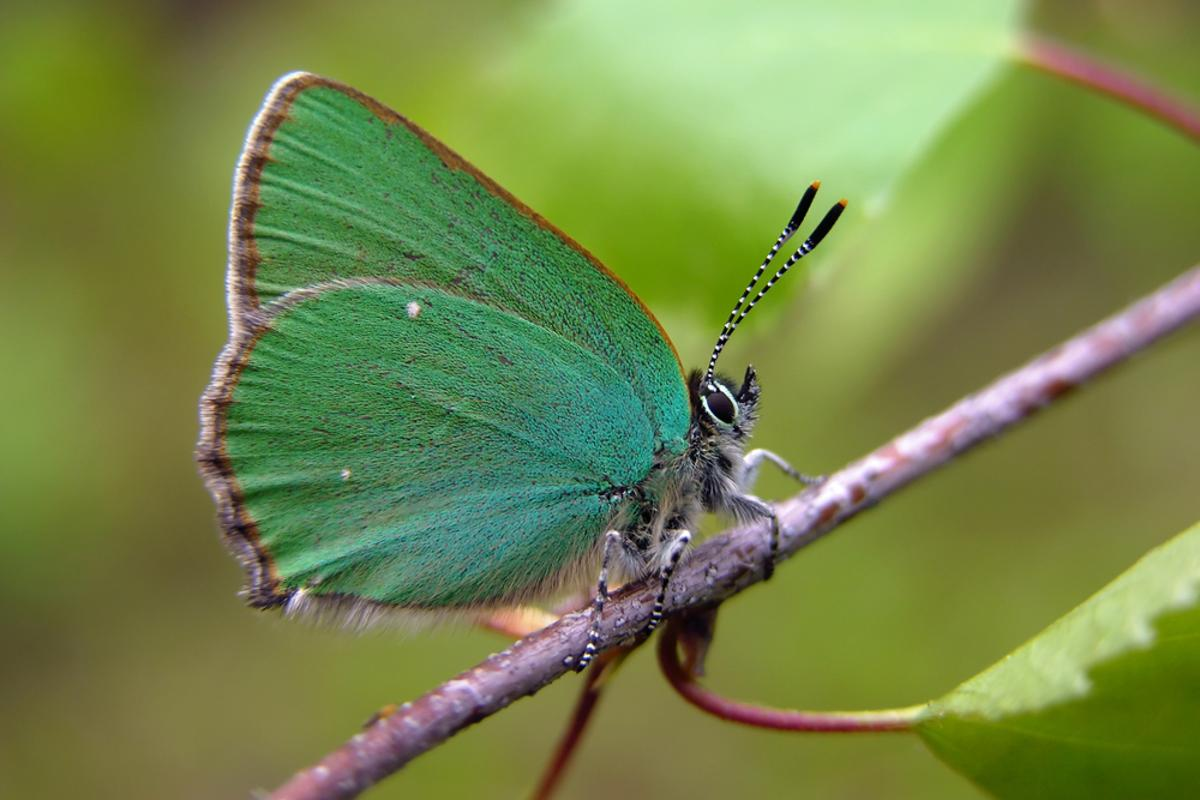 A team of international researchers has developed artificial crystals with unique optical properties by mimicking the wing structure of Callophrys Rubi (aka the Green Hairstreak butterfly) (Photo: Shutterstock)