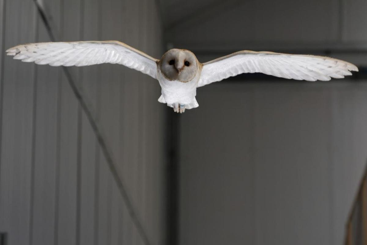 By studying a barn owl in flight, scientists have uncovered an interesting mechanism birds use to counter gusts of wind in flight