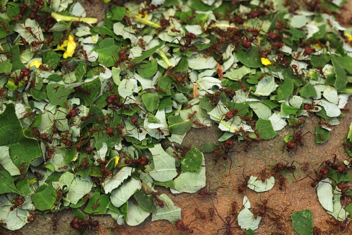 According to the University of Bath, leafcutter ants cause an estimated US$8 billion of damage each year to eucalyptus forestry in Brazil alone