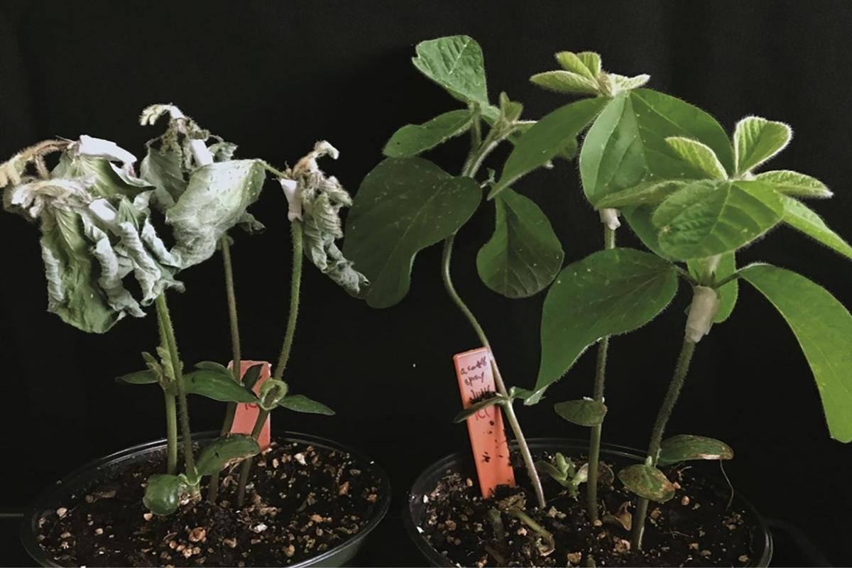 Treated (right) and untreated soybean plants, after being exposed to Phytophthora sojae mold