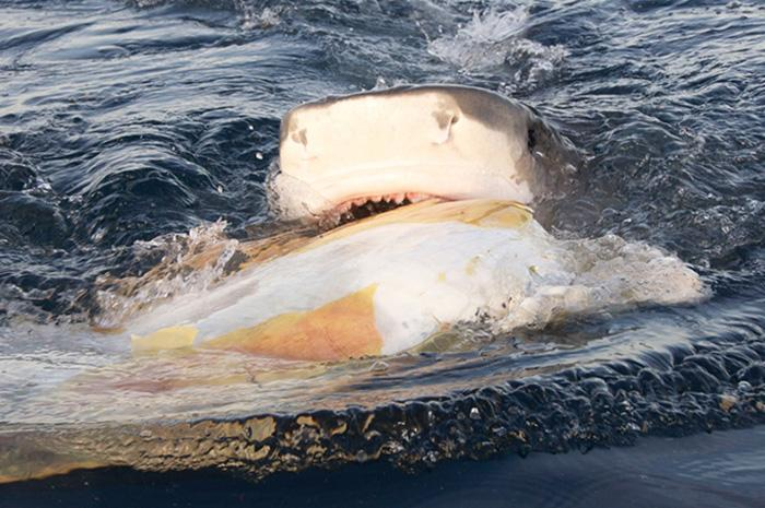 A tiger shark bites into a dead sea turtle in thewaters around Raine Island