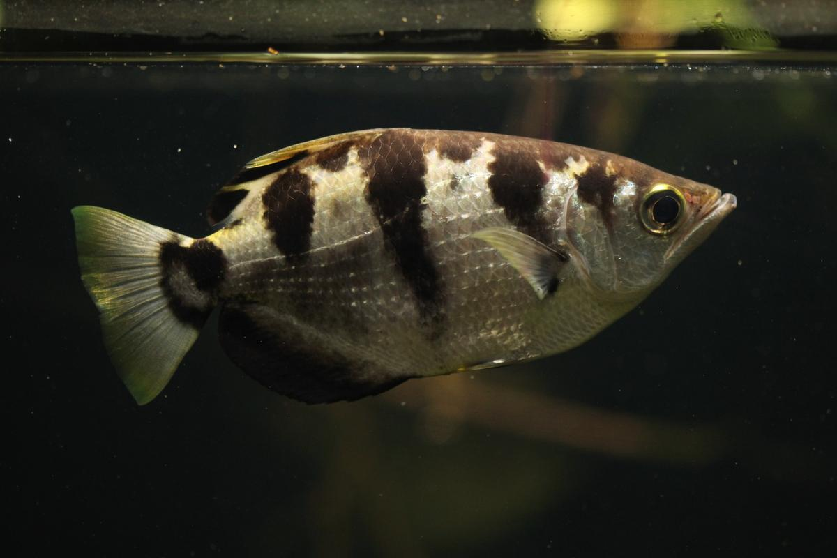 Researchers have found the archerfish is able to recognize human faces