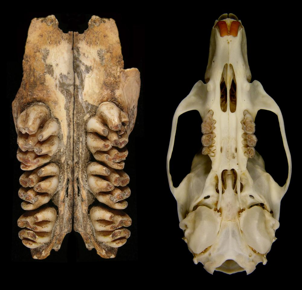 The upper toothrows of the giant rat compared to the skull of a common rat(Image: Ken Aplin, CSIRO)