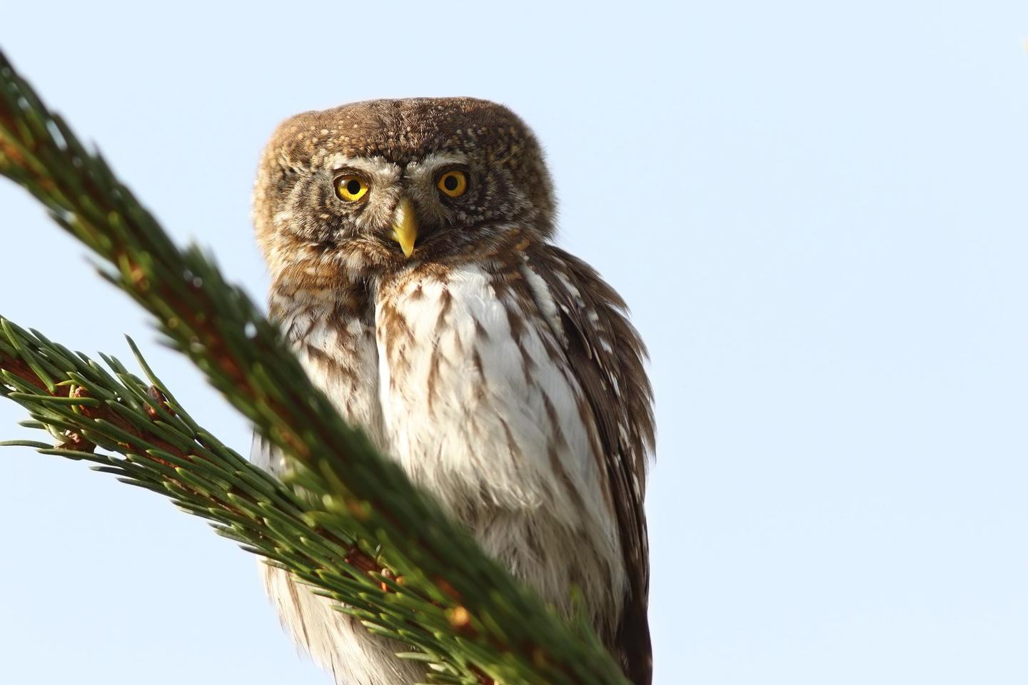 The researchers introduced a model of a pygmy owl, like the live one seen here,to see how the prey species responded
