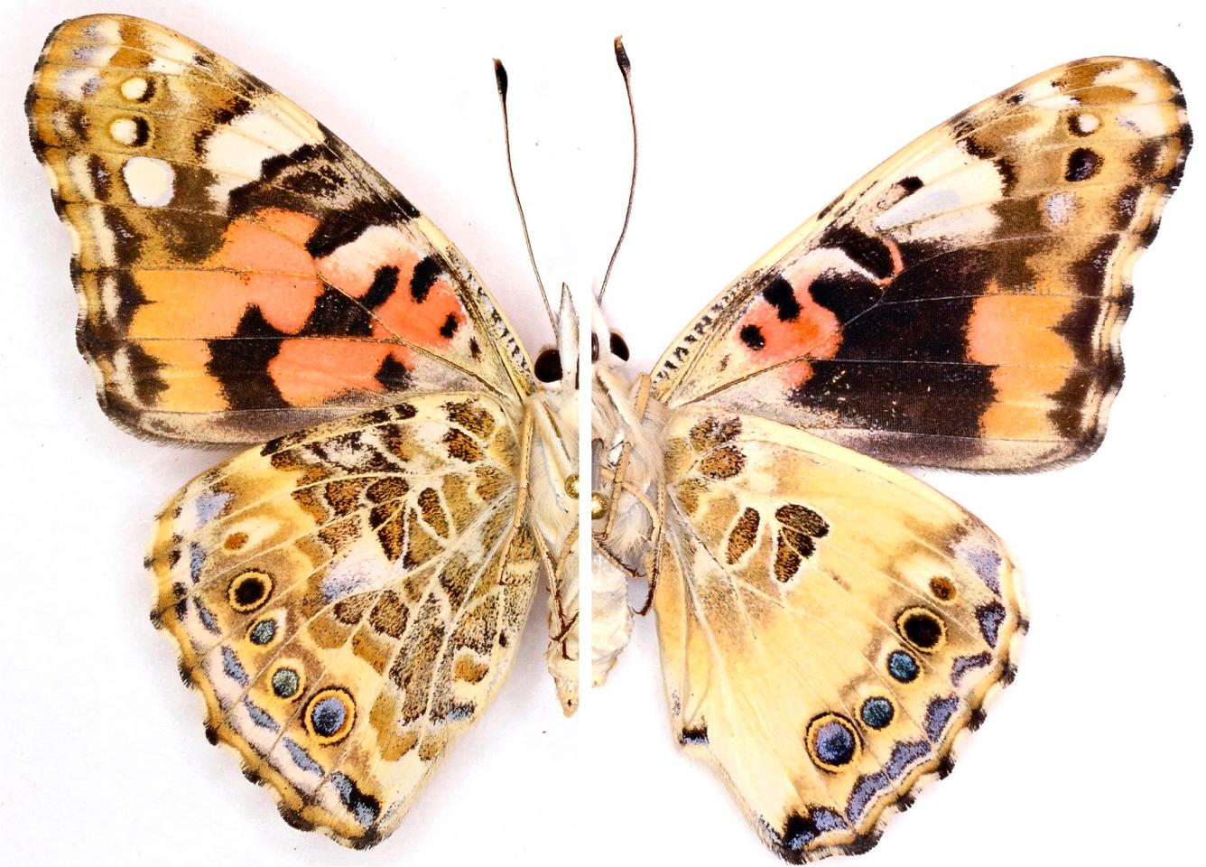 The left side of this Painted Lady butterfly shows a typical specimen's wing, while the right side shows the effects post-CRISPR