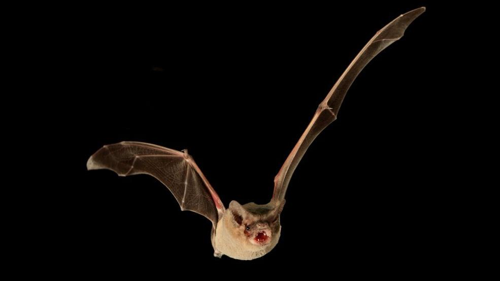 A Brazilian free-tailed bat. The team has ruled out the possibility that tailwinds had a part to play in its record-breaking flight