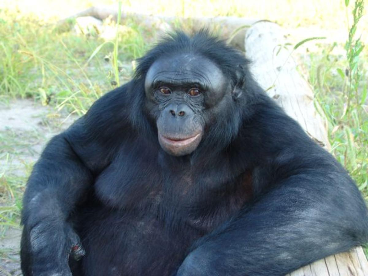 Bonobo Chat is a proposed app, that would allow humans to communicate with bonobos such as Kanzi