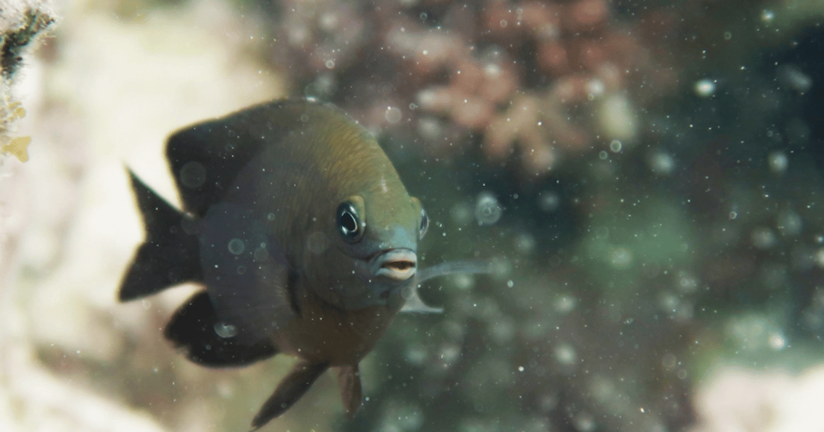 Farmer fish become first animal found domesticating another species