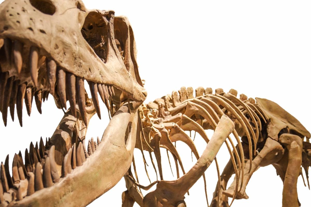 Preserved collagen from T-rex bones caused a stir in 2008, but new research has found the proteins were probably the result of modern contamination