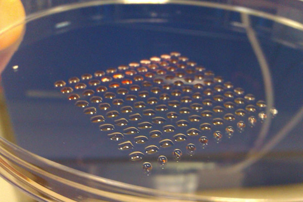 The human embyonic stem cells printed using the new valve-based technique developed at Heriot-Watt University