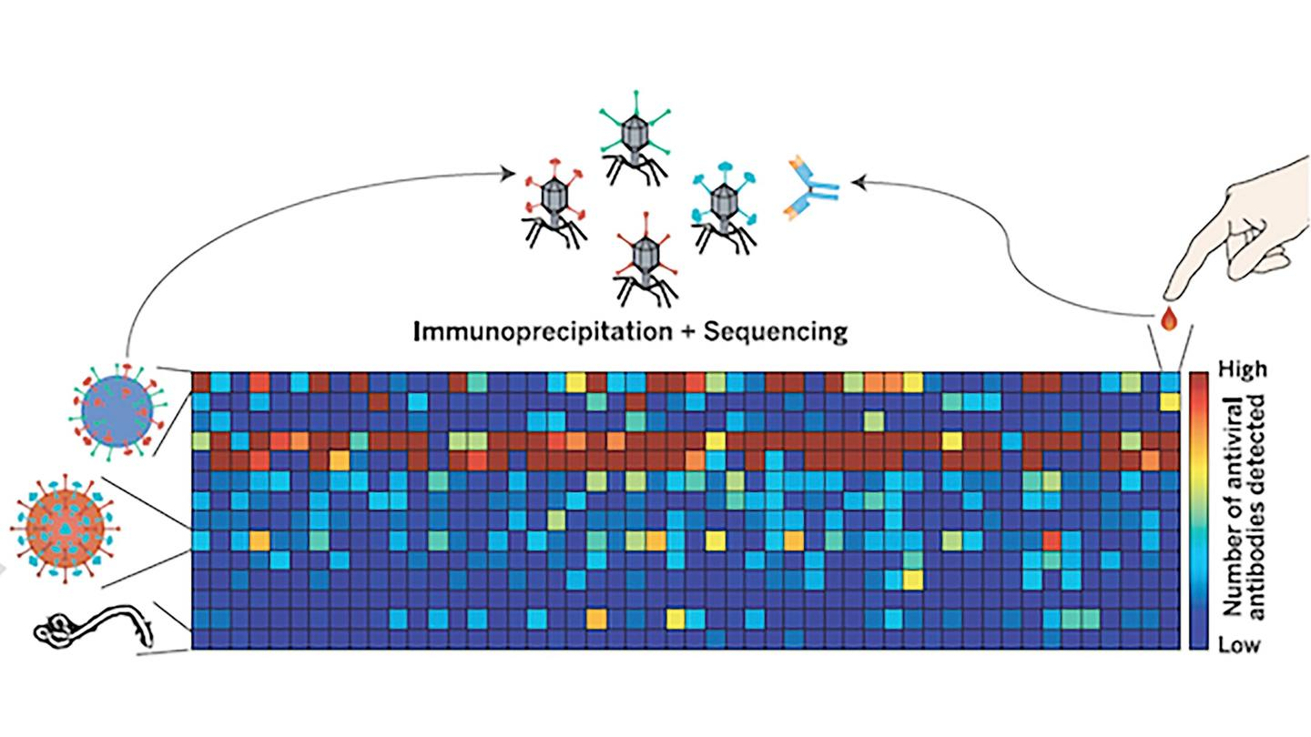 The team's technique involves synthesizing a bacteriophage group that displays peptides of more than 1,000 known human virus strains