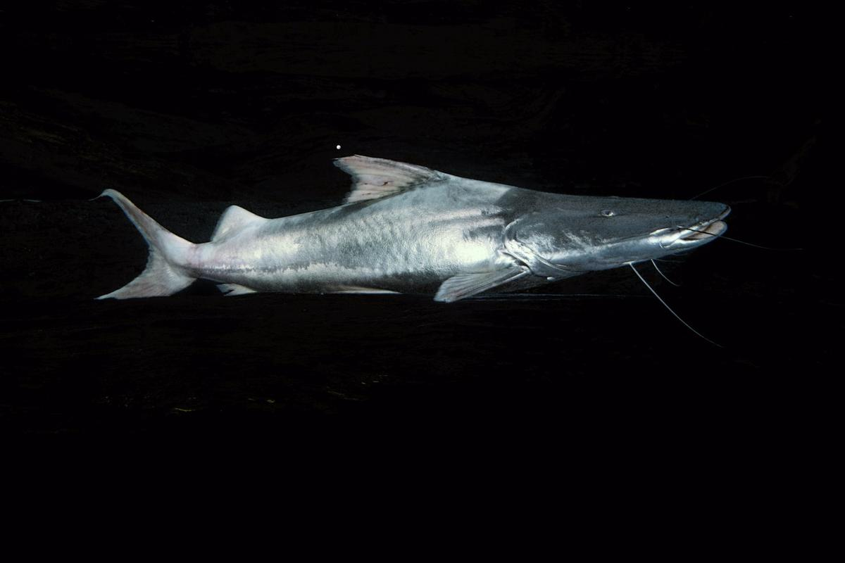The Dorado catfish swims approximately 11,600 km (more than 7,200 miles) in its lifetime – that's like taking part in 276 marathons