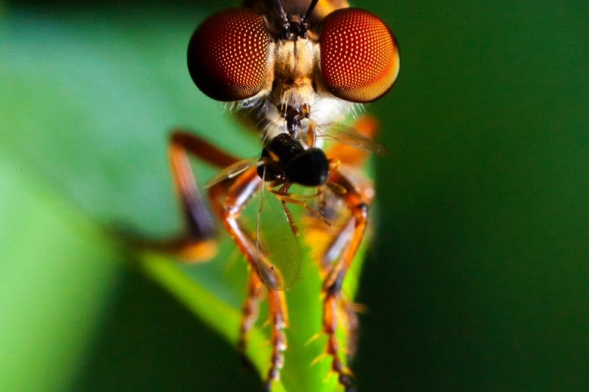 The robber fly has eyes made up of thousands of lenses