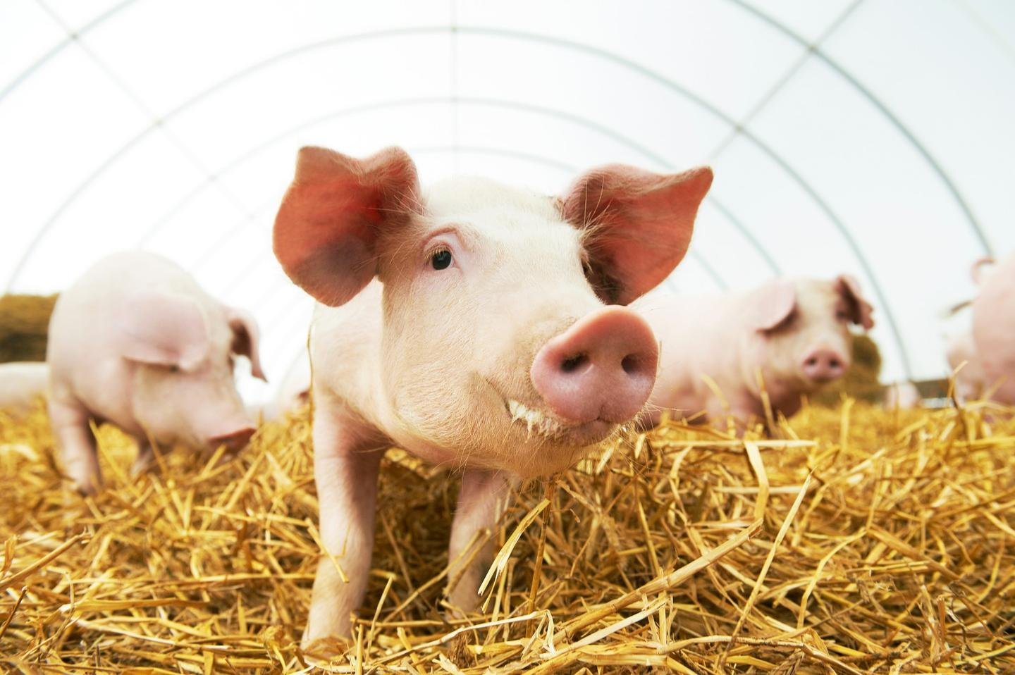 Researchers have implanted bioengineered lungs into pigs, with no medical complications