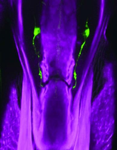 The green fluorescence marks where the IR60b genes are being expressed, in the fruit fly's throat