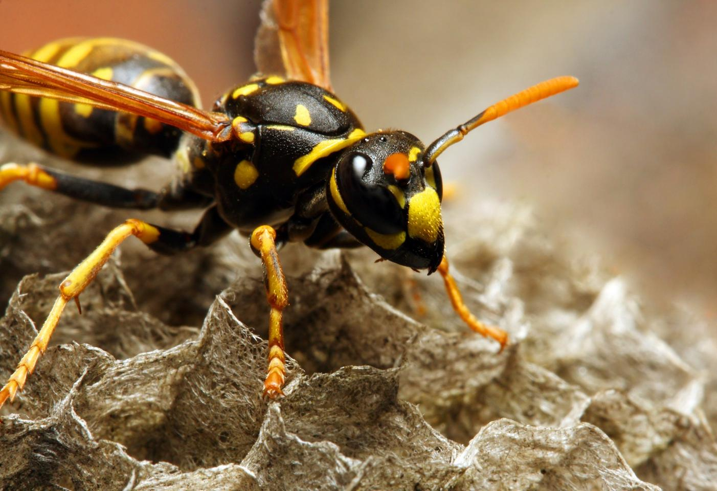 MIT scientists have produced an antibiotic that's derived from wasp venom (although not from the species shown here)