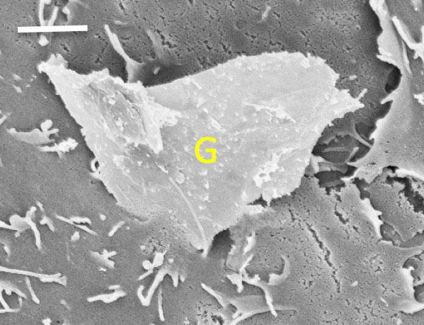 The bottom corner of a piece of graphene penetrates a cell membrane - mechanical properties like rough edges and sharp corners can make graphene dangerous to human cells. Scale bar represents two microns. (Image: Kane lab/Brown University)