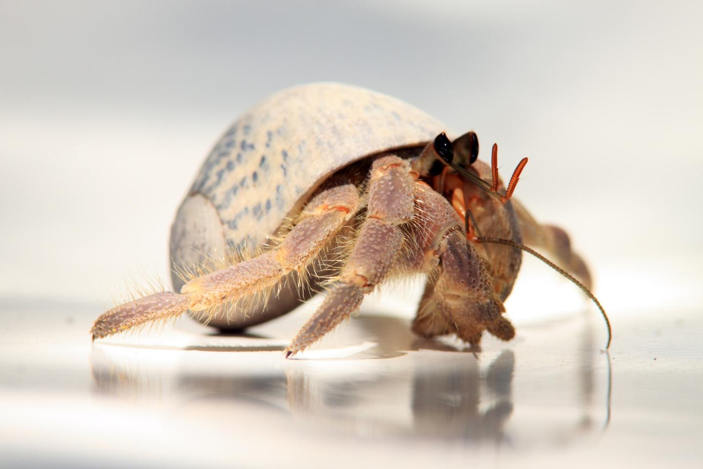 New research suggests that thelonger hermitcrabs spend modifying their shells, the longer their penises are likelyto be