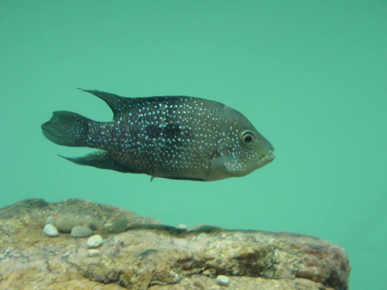 The cichlid goes by the scientific name of Herichthys minckleyi