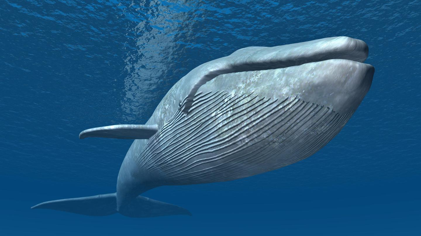Researchers have traced the evolution of whales back a few million years, and found that their size increased rapidly in response to changing climates