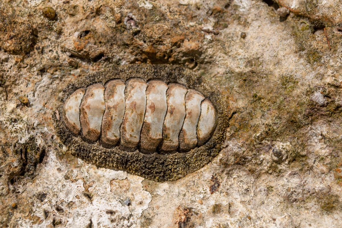 The research focused on a species of chiton with hard, ceramic eyes dotted across its flexible shell