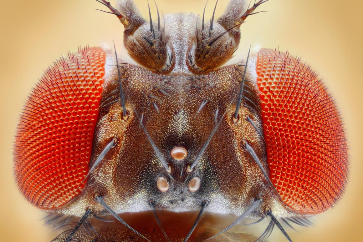 According to the new research,flies that aren't resistant to DDTare more likely to win a mate,even whenresistant flies are larger in size