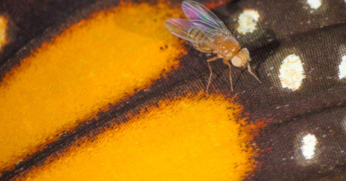 CRISPR flies have been gene edited so they can eat poison
