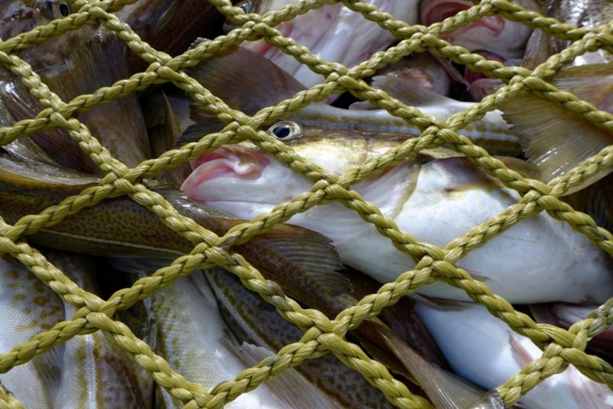 Freshly-caught cod – freeze it or leave it?