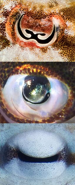The oddly shaped pupils of a cuttlefish, squid and octopus from top to bottom