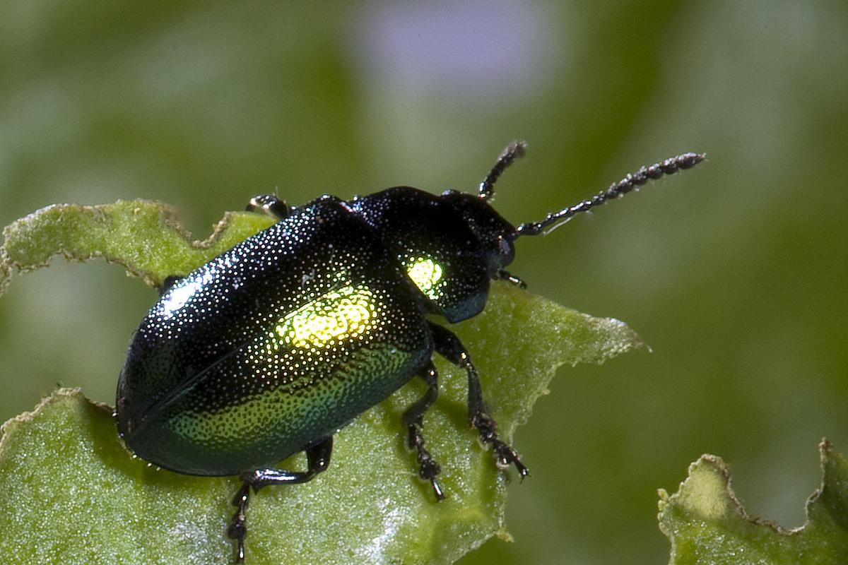 Leaf beetles use three shapes of adhesive hair in a specific pattern to allow for greater adhesiveness or rapid detachment on diverse surfaces