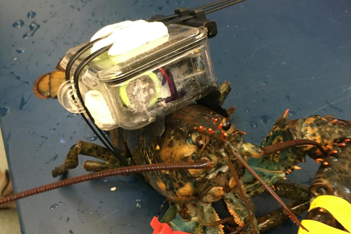 A test-subject lobster, equipped with a prototype C-HAT