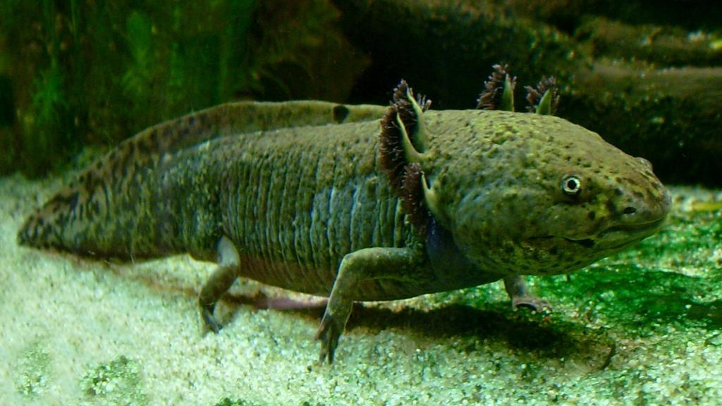 Researchers have used an axolotl oocyte extract to reactivate tumor suppressor genes and stop cancer growing