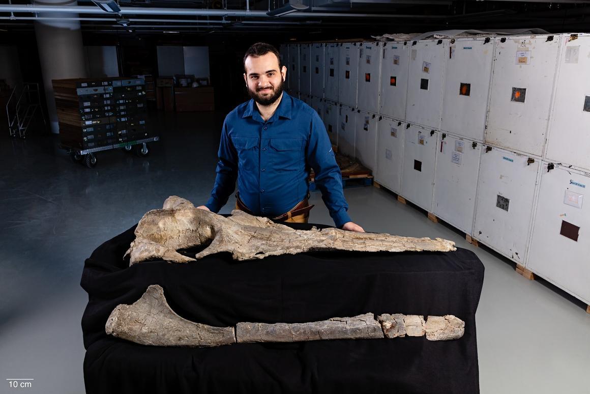 Carlos Peredo with the fossilizedMaiabalaena nesbittae skull