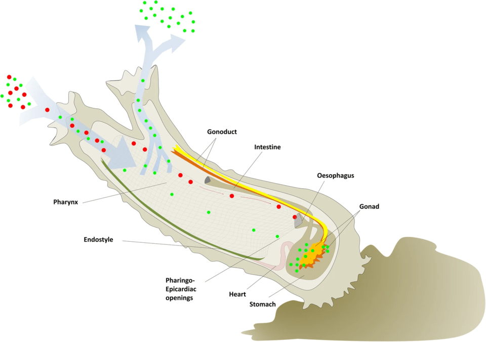 A diagram depicting the water circulation within a C. Robusta – red dots signify larger particles while green dots are smaller ones