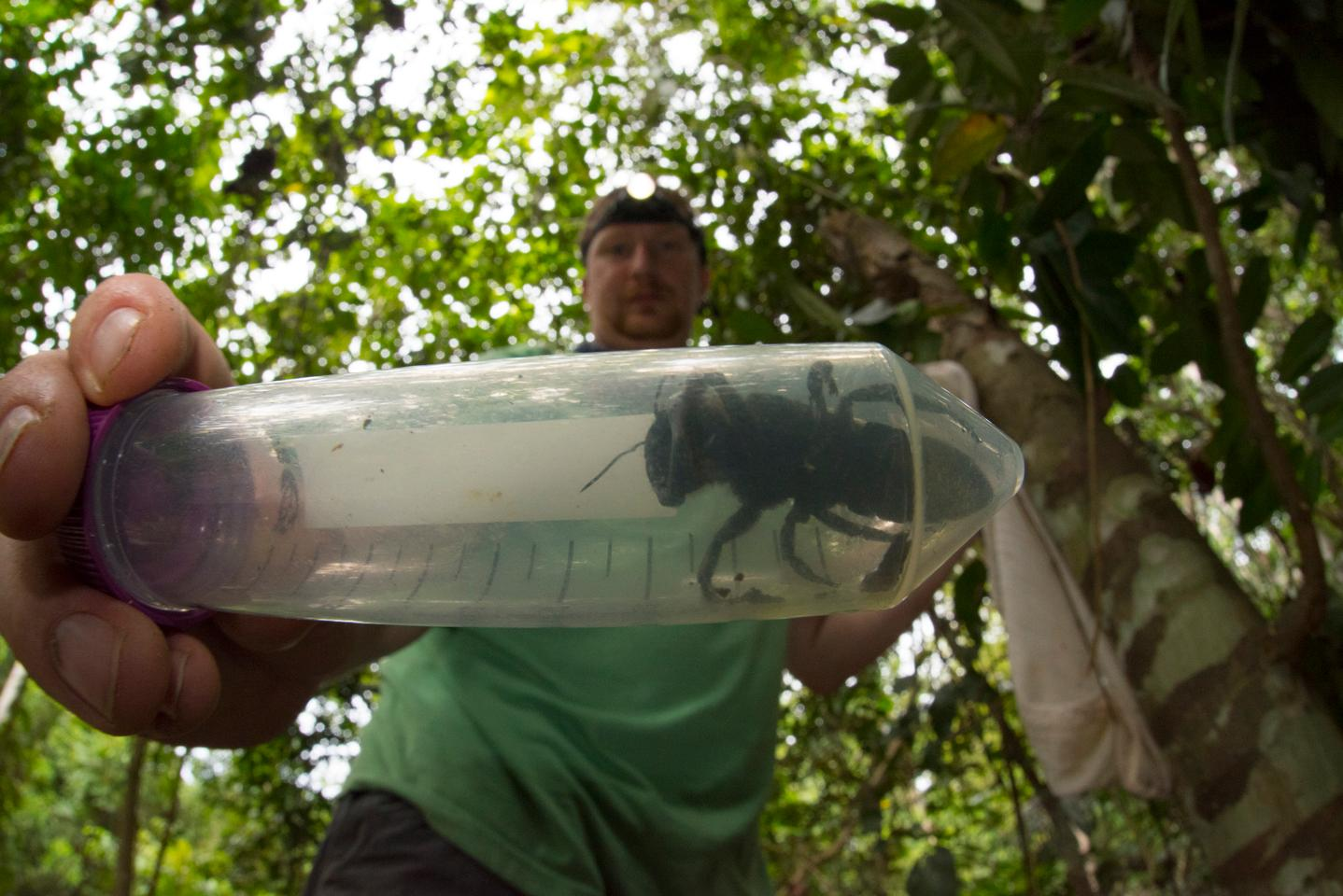 Entomologist Eli Wyman holds a specimen of the rediscovered Wallace's giant bee