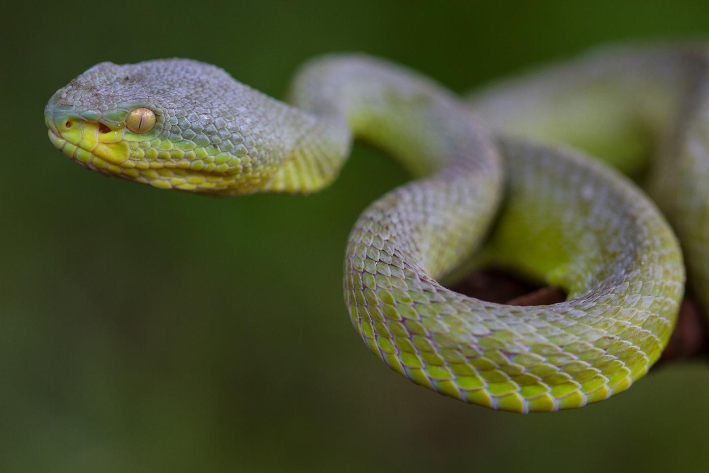 Using a system very similar to the way pit vipers sense the body heat of their prey, a new type of artificial skin may respond to temperature changes