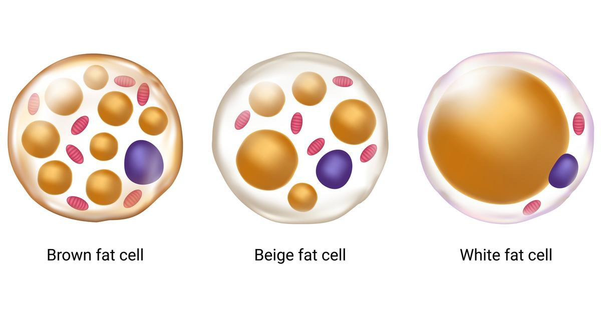 First-of-its-kind study links brown fat with broad health benefits