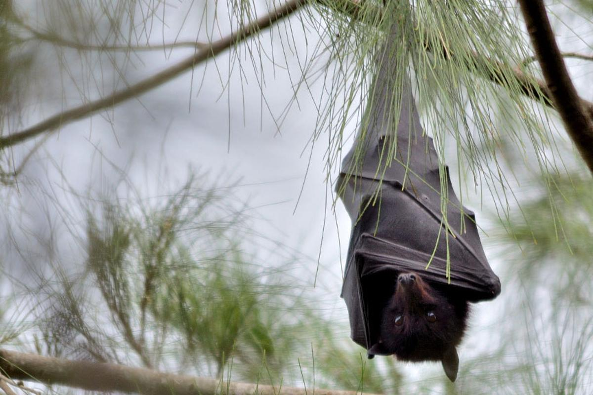Researchers have examined the genes and immune system of the Australian black flying fox for clues on how it remains unaffected from lethal diseases