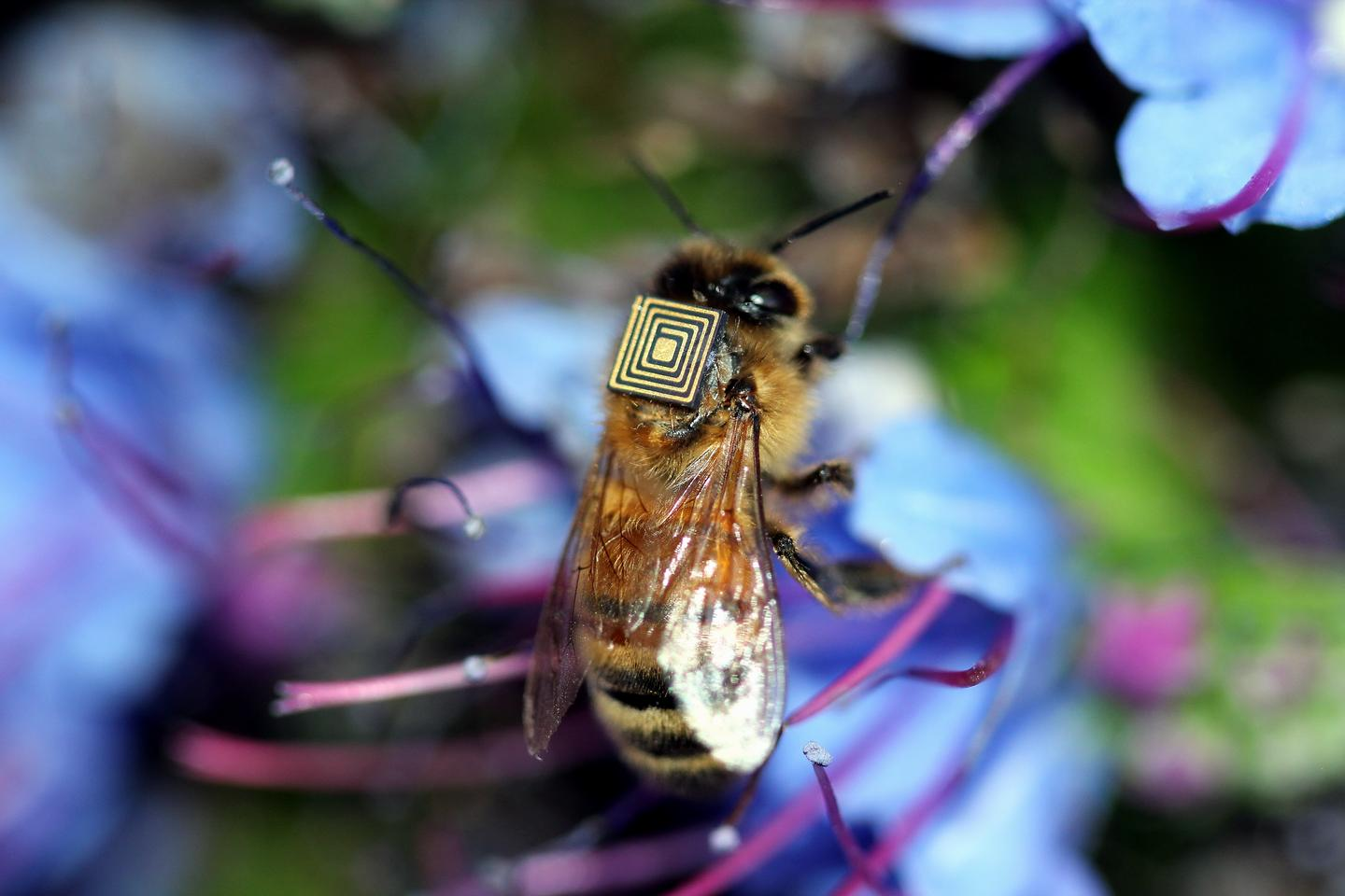 The flat, square tags measure 2.5 mm per side, and are being affixed with adhesive to the backs of bees in Hobart, Tasmania