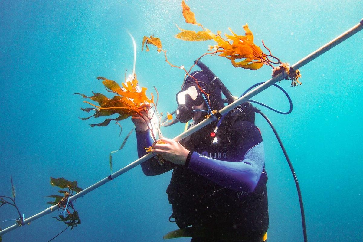 """A researcher tends to kelp being grown on an experimental system called the """"kelp elevator"""""""
