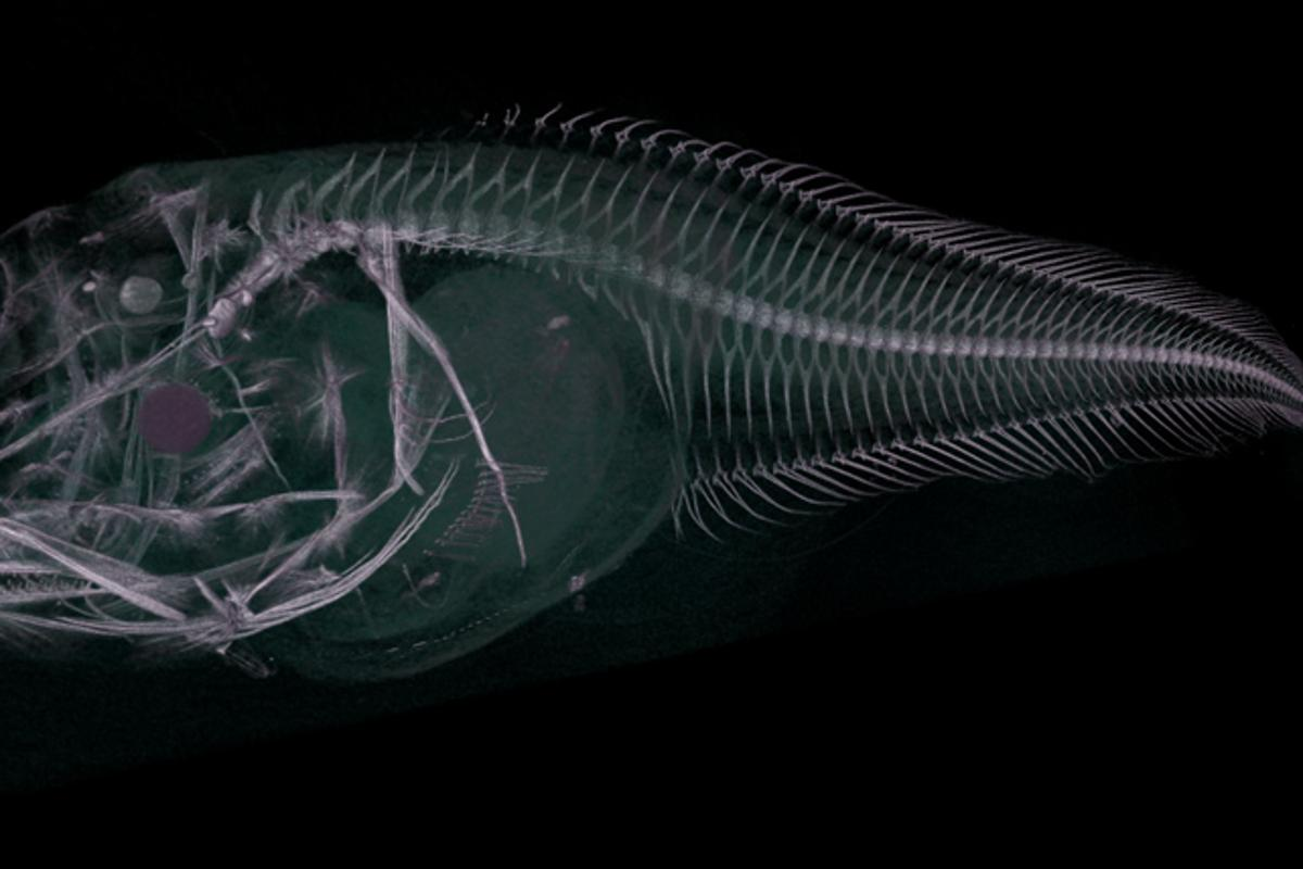 CT scan of the newly discovered Atacama snailfish