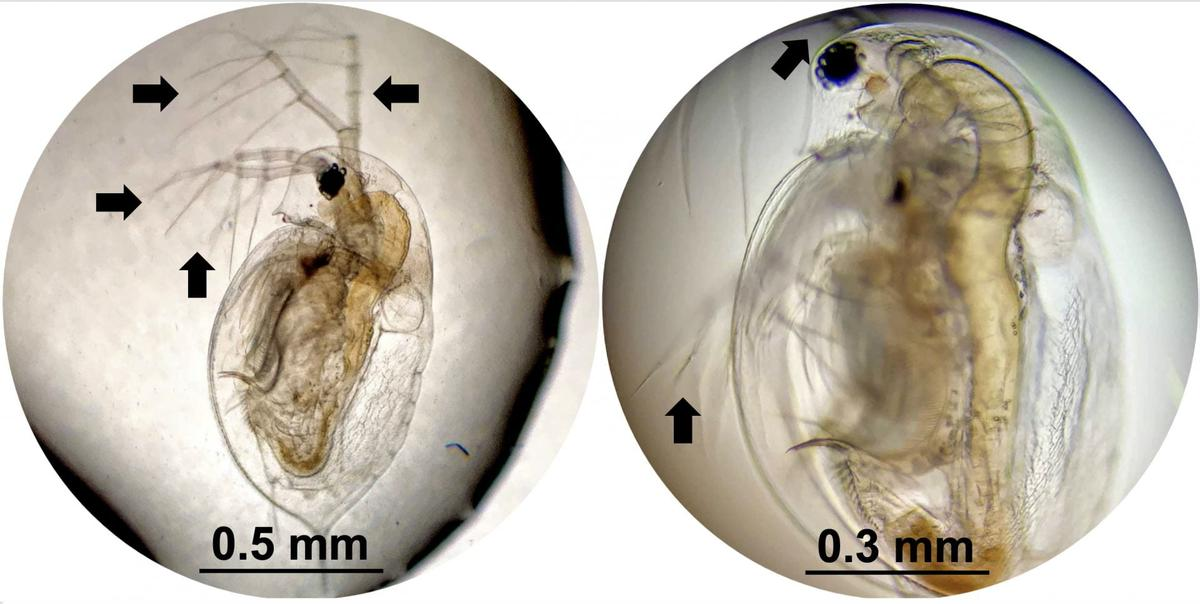 Daphnia plankton, before and after exposure to the nanodrills