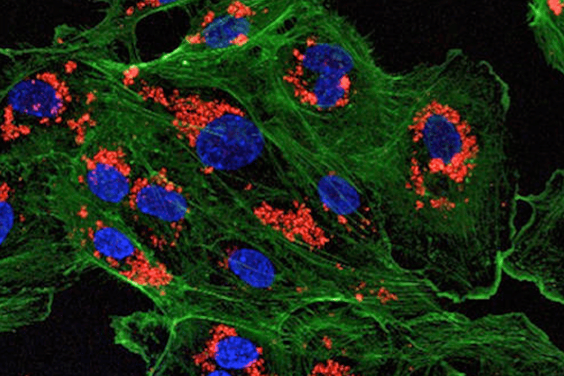 A microscopic image of endothelial cells treated with drug-loaded nanoparticles