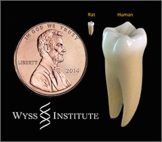 Performing dentistry on rat teeth takes extreme precision and is actually harder than the same procedure on human teeth (Image: ames Weaver, Harvard's Wyss Institute)